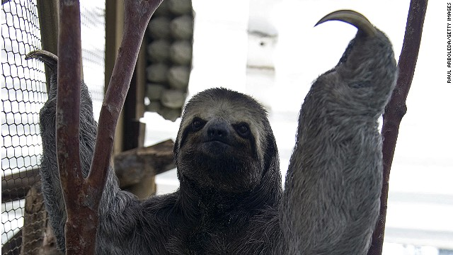 Draping itself around Central and South America, the three-toed sloth has a face that looks as if it was put together by a negligent depressive.