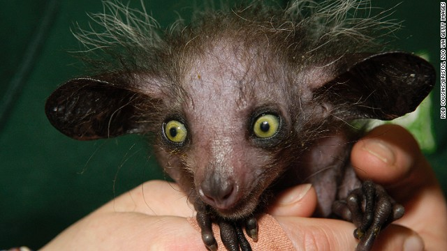 Despite its name, implying -- in English, anyway -- some sort of affirmation, this teeny Madagascan primate looks like something left behind in a horror movie prop department and mysteriously brought to life.
