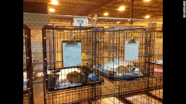 The dogs are under quarantine, isolated in their cages and kept indoors until the ASPCA medical team can confirm they are free from disease.