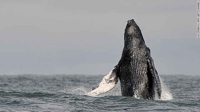Between June and November, humpback whales undertake a seasonal migration from