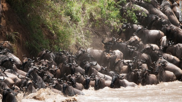 Over a million wildebeests trek north in the Serengeti each year and attempt to cross the Grumeti River. The water is infested with crocodiles, and many of the animals fall victim to the aquatic predators.