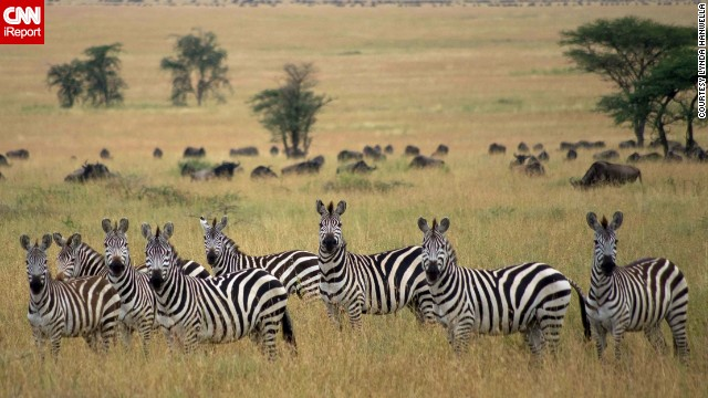 "An attentive group of zebras stares into the camera as wildebeest graze in the background. ""It's a bit invigorating to know that a hyena or lion could happen by at any moment,"" said Lynda Hanwella, who shot this photo while on safari."