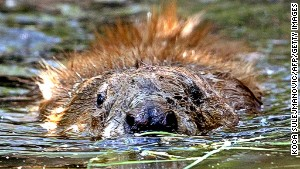 Guides will take you to see the beavers in Knapdale Forest -- just don\'t expect a welcoming slap on the back.