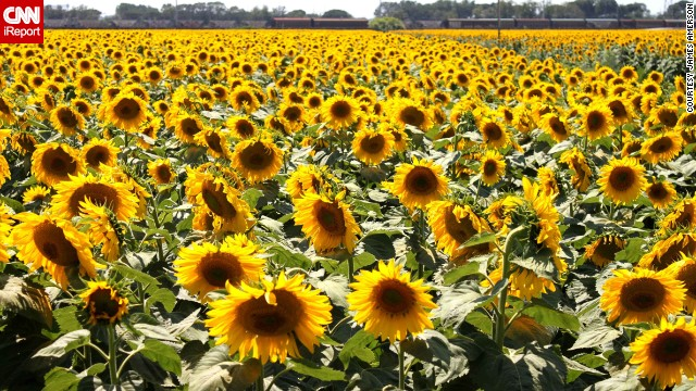 "James Amerson spotted this field of sunflowers while traveling from Portofino to Florence. ""I loved everything about Italy,"" he said. See more photos from his journey on CNN iReport."