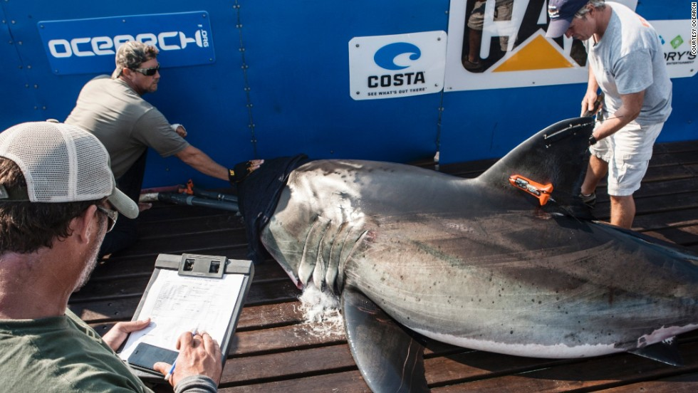 High-tech tagging equipment? Check. Top scientists? Check. Towel to cover the eyes of one of the most ferocious predators of the sea? Check. Just a day in the life of great white shark researchers, Ocearch.