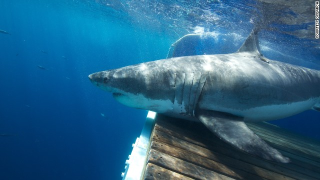 The team has been busy tagging sharks off the coast of Cape Cod in Massachusetts, close to where Steven Spielberg