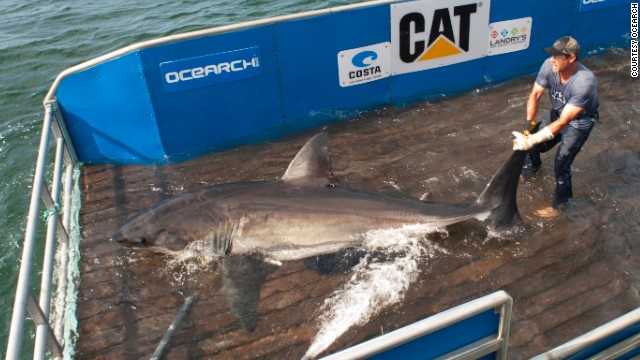 Unlike previous shark tagging methods which used darts shot from a distance, the Ocearch team lures the fearsome creatures on to a moveable platform.