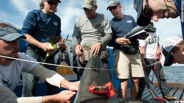 Once on board, the gutsy team has just 15 minutes to bolt a satellite tracking tag to the fin, insert another acoustic tag in the abdomen, attach a third tag monitoring scale movements and tail beats, take blood and tissue samples, and even conduct an ultrasound.