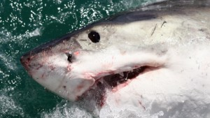 Scientists face to face with great whites