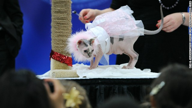 """Madeline,"" a sphynx wearing a pink princess ensemble by ""Ada Nieves for Pets,"" strikes a pose with her owner Emily Greene."
