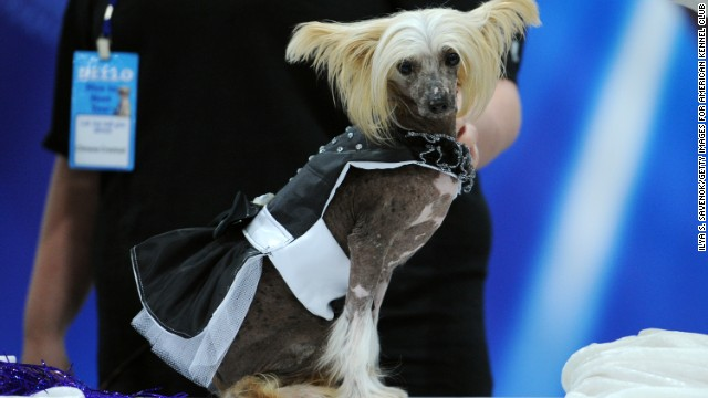 "A Chinese crested dog is fun and flirty in this ""Ada Nieves for Pets"" little black dress."