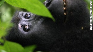 A gorilla in its Ugandan rainforest home ... Who you telling Africa\'s all desert?