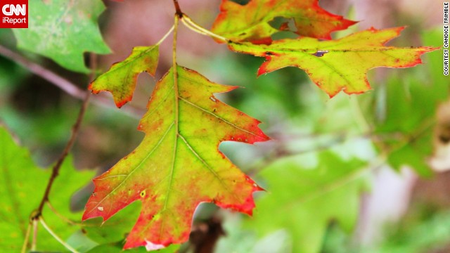 Leaves in Front Royal, Virginia, turn red for autumn. ' I was surprised to see the leaves changing so quickly, but I welcome it,' iReporter <a href='http://ireport.cnn.com/docs/DOC-1039059'>Candice Trimble</a> said.