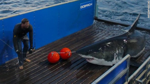 "Since launching in 2007, Ocearch has tagged over 100 sharks. But it wasn't until National Geographic started featuring the team in TV series <a href='http://channel.nationalgeographic.com/wild/shark-men/' target='_blank'>""Shark Men,""</a> that McBride gained ""superhero"" status among fans."