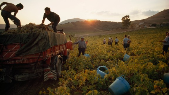 Men harvest grapes in a vineyard near Trapini, Sicily in 2007.