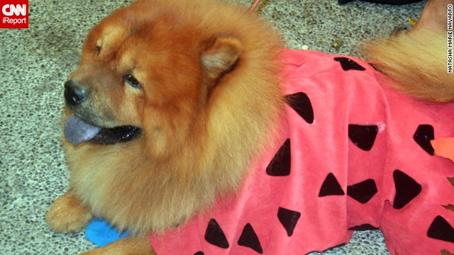 Yabba-Dabba -- dog? This adorable chow chow, photographed by iReporter Natasha Marie Navarro, is dressed like <a href='http://ireport.cnn.com/docs/DOC-870763'>cartoon caveman Fred Flintstone</a>.