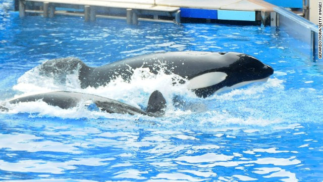 Tilikum returned to performing at SeaWorld Orlando a year after Brancheau's death. Trainers were no longer allowed in the water with the killer whales after OSHA, the federal agency that regulates workplace safety, cited SeaWorld of Florida, Inc., for willfully endangering employees by not taking proper safety precautions. A judge upheld the ruling, but SeaWorld is appealing.