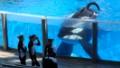 Should SeaWorld free it orcas?
