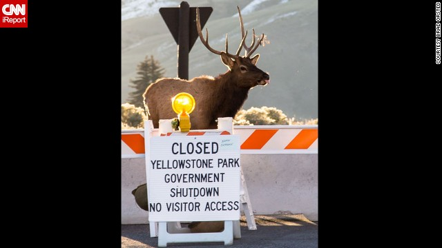 A bull elk appears to stick out its tongue at the closed north entrance to Yellowstone National Park in Montana on October 7 in a photo submitted by <a href='http://ireport.cnn.com/docs/DOC-1046279'>iReporter Brad Orsted</a>. Orsted joked the animal was giving its opinion on the government shutdown.