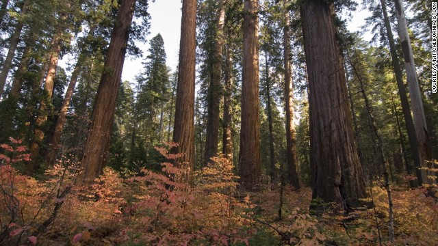 California's giant sequoias reign at Calaveras Big Trees State Park.