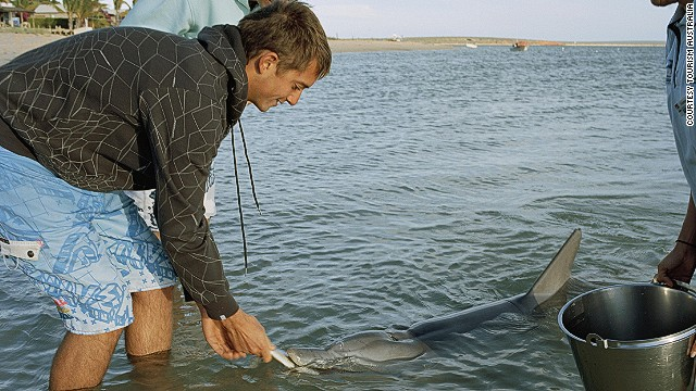 Dolphins come to shore each day to be fed in the shallow waters of the Shark Bay peninsula, 850 kilometers north of Perth.