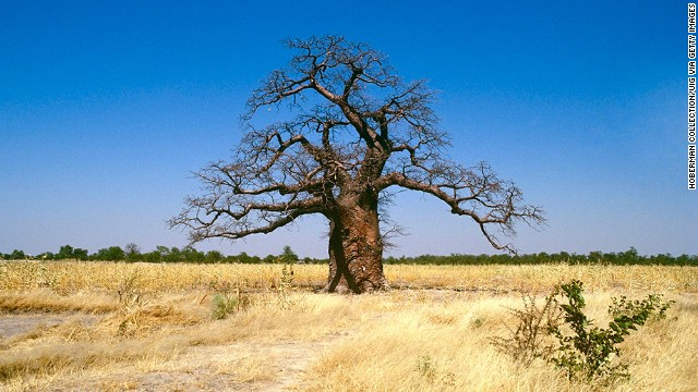 Africa's biggest and oldest trees, baobabs, are found in South Africa's driest regions. In Modjadjiskloof, the tree that locals claim is the largest baobab in the world (not pictured) stands at 22 meters high and 47 meters in diameter. The center is hollow and has been turned into a bar.