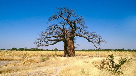 A baobab tree stands alone in South Africa in 2009.