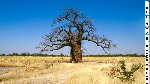 Stately and stoic -- baobabs are Africa\'s oldest and largest trees.