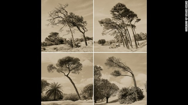 A photograph from the same series, depicting trees that permanently lean in the same direction because of the South Easter wind, which blows through Cape Town during the spring and summer months.