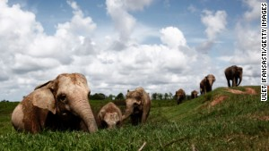 The battle to save Sumatra's elephants