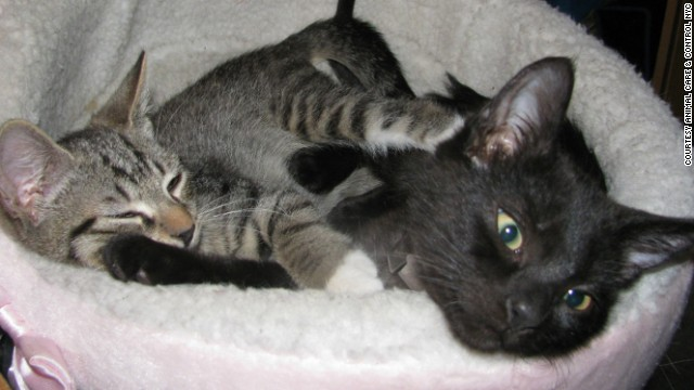 Arthur, left, and August, the two kittens who shut down part of the New York City subway system for 90 minutes in August, cuddle together in this photo taken in October. They were adopted by a Brooklyn couple.