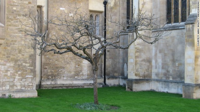 Could this really be the tree under which Sir Isaac Newton sat and conceived the universal theory of gravity as an apple conked him on the head? Well, we're pretty sure it isn't, considering the story itself is widely considered to be apocryphal. But, according to the Isaac Newton Institute for Mathematical Sciences at the University of Cambridge, where Newton was a fellow, <a href='http://www.newton.ac.uk/art/tree.html' target='_blank'>it was taken as a cutting from the alleged tree</a> at Newton's birthplace in Woolsthorpe Manor, UK. Other alleged cuttings have been replanted as far as Nebraska, Vancouver, and Tokyo.
