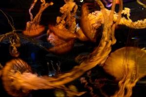 Ortiga del mar del Pacífico