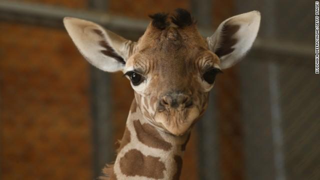 Por qué Facebook está lleno de jirafas