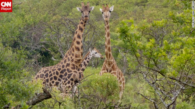 "Reporter Erin Carson was hiking at Kruger Farms when this trio of Rothschild's giraffes appeared. They're one of the most endangered giraffe subspecies. ""They were so close, it was unreal. I walked a few meters into the grassy area to get closer and just started snapping pictures."""