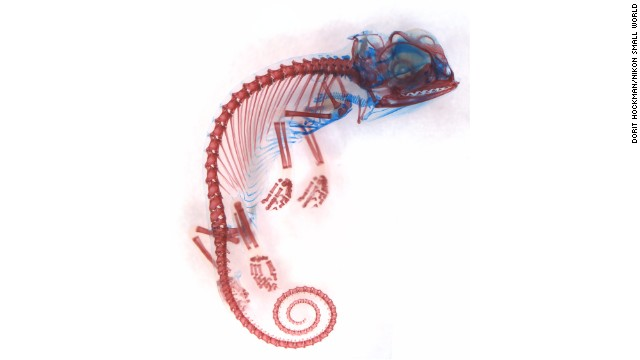 Miss Dorit Hockman; University of Cambridge; Chamaeleo calyptratus (veiled chameleon), embryo showing cartilage (blue) and bone (red)