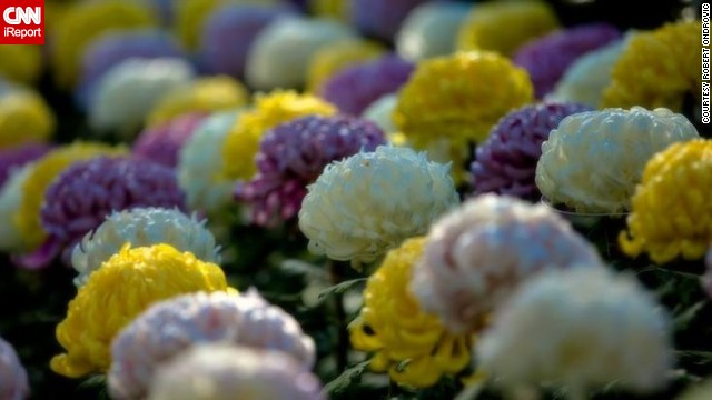 "Chrysanthemums take center stage at the New York Botanical Garden's annual Kiku: The Art of the Japanese Garden exhibition. ""Kiku"" means ""chrysanthemum"" in Japanese."