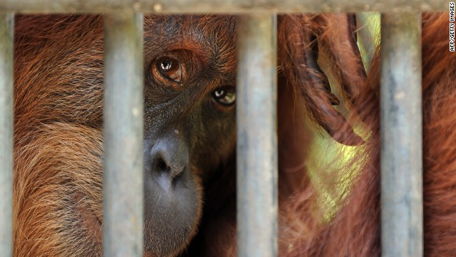 orangutan in captivity sumatra