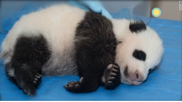 Another ballot measure: Name the panda cub