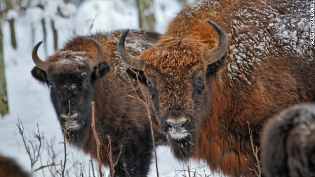 Poland's wild European bison are all descended from 54 captive animals that survived