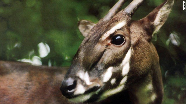 "A Saola is caught on camera for the first time in 15 years on September 7 in a forest in Vietnam. The species was discovered in 1992, and at most a few hundred -- and as few as a couple dozen -- of the animals are thought to exist. Because of its rarity and elusiveness, the saola is dubbed the ""Asian unicorn."" They are recognized by two parallel horns with sharp ends, which can reach 20 inches in length and are found on both males and females."