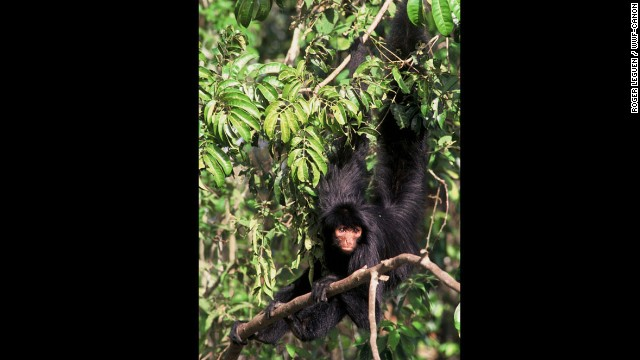 Black spider-monkeys — also known as the Guiana or red-faced spider monkey — are one of the main monkey species encountered in healthy tropical rainforests. It's prehensile tail allows this monkey to find stability when sitting on branches and to reach out for food at the tip of fragile branches by suspending himself.