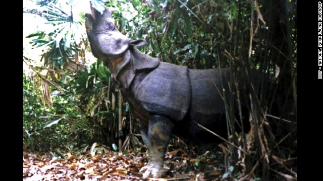 A Javan rhino walks in the national park in the Ujung Kulon National Park in Indonesia. It is one of the most threatened of the five rhino species, with as few as 35 individuals surviving. Their skin has a number of loose folds, giving the appearance of armor plating. The discovery of three dead Javan rhinos in 2010 has intensified efforts to save one of the world's most endangered mammals from extinction.