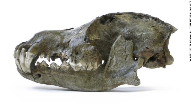 Scientists suggest in a new study that dogs were first domesticated in Europe many thousands of years ago. This is the head of a Pleistocene wolf from the Trou des Nutons cave in Belgium, estimated to be 26,000 years old. This was a particularly large wolf species.