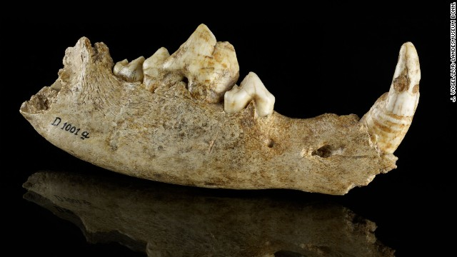 Mandible of a dog from the Oberkassel site in Germany, approximately 14,700 years old.