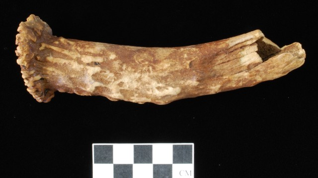 8000-500 BC: This deer antler was likely a billet used to manufacture stone tools.