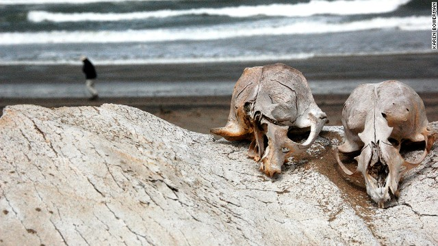 Seal skulls remaining from the Skeleton Coast's defunct whaling industry. The odd shipwreck victim's bones are probably jumbled in, too.