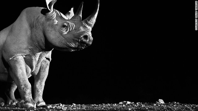 This rare view of a wild rhino's magnificent jawline was captured at night at a watering hole with a remote-controlled shutter. It's one of Yarrow's favorite photographs.