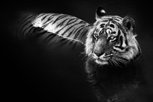 """El asesino"" - Ranthamborne NP, India"