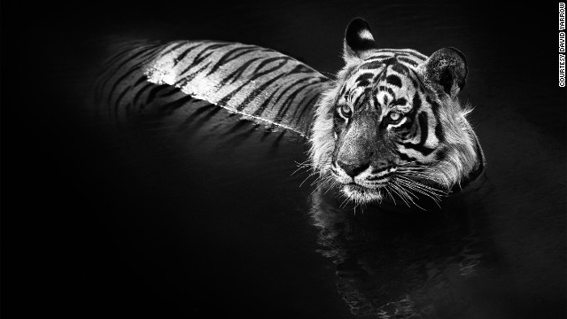 """The chance to take a portrait in a dark water environment -- free of any tension for the tigers -- was a moment of great fortune,"" says Yarrow. Named T24, this tiger is known for having killed two villagers in Rajasthan since 2010."
